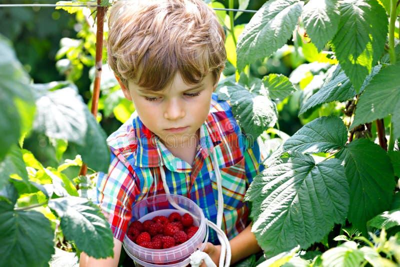 Gullig liten unge som väljer nya bär på hallonfält Sund mat för barnhacka på organisk lantgård Liten litet barnpojke royaltyfria foton