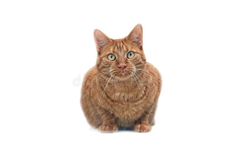 Gullig ljust rödbrun katt som ser rak på kameran - som isoleras på vit bakgrund royaltyfri foto