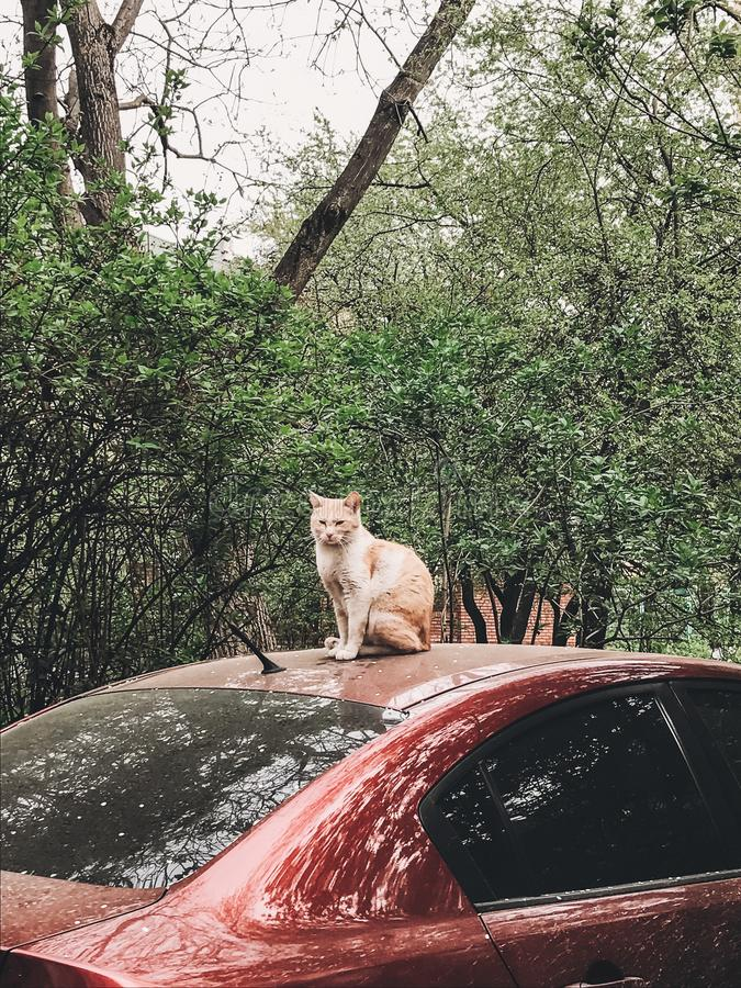 Gullig ljust rödbrun katt som sitter på den röda bilen bland gröna träd i vår Hemlös katt i stadsgata Telefonfoto royaltyfria bilder