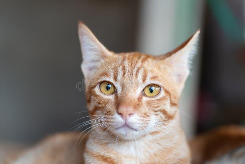 Gullig ljust rödbrun kattframsida, gulligt husdjur royaltyfri bild