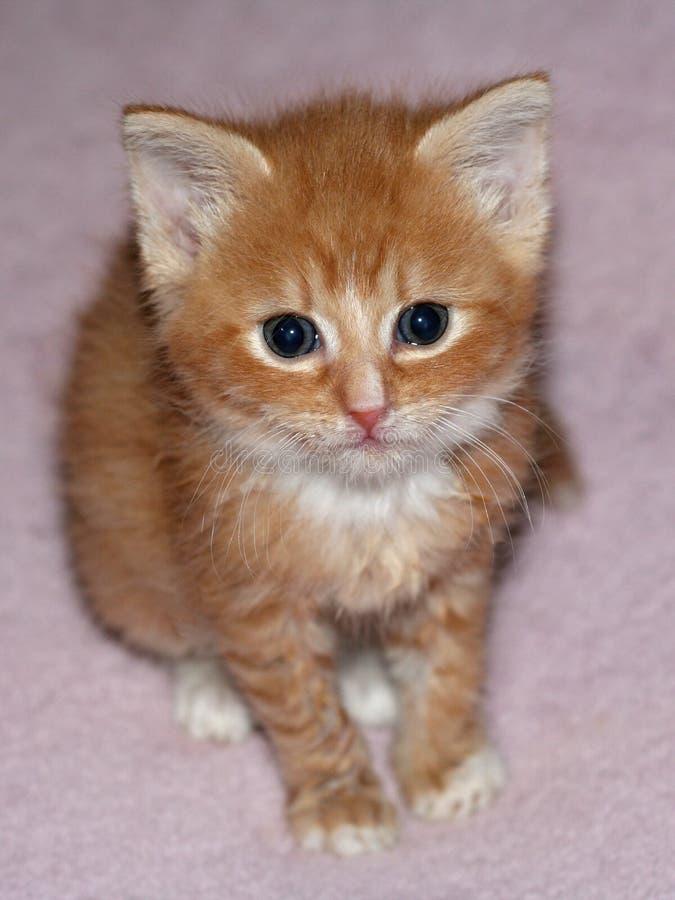 gullig ljust rödbrun kattunge arkivfoton