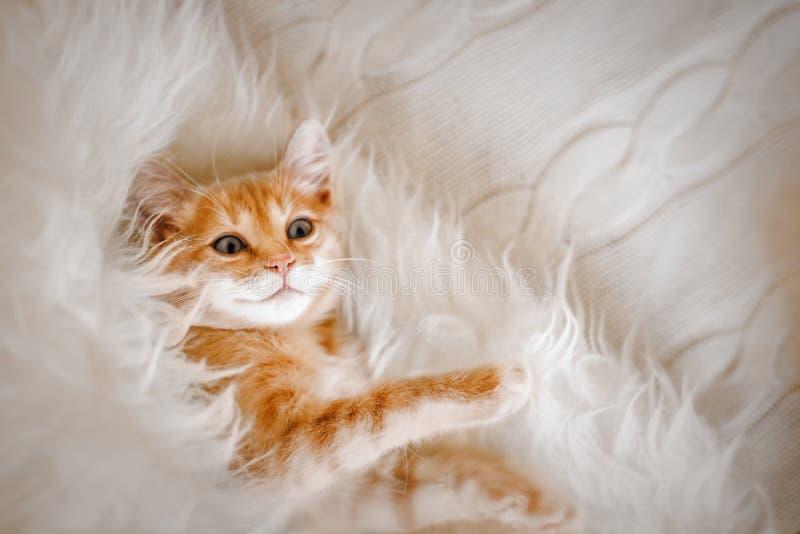 Gullig ljust rödbrun kattunge som ligger i morgonen på en pälsfilt Begrepp av hemtrevliga Hyugge och den bra morgonen royaltyfria foton