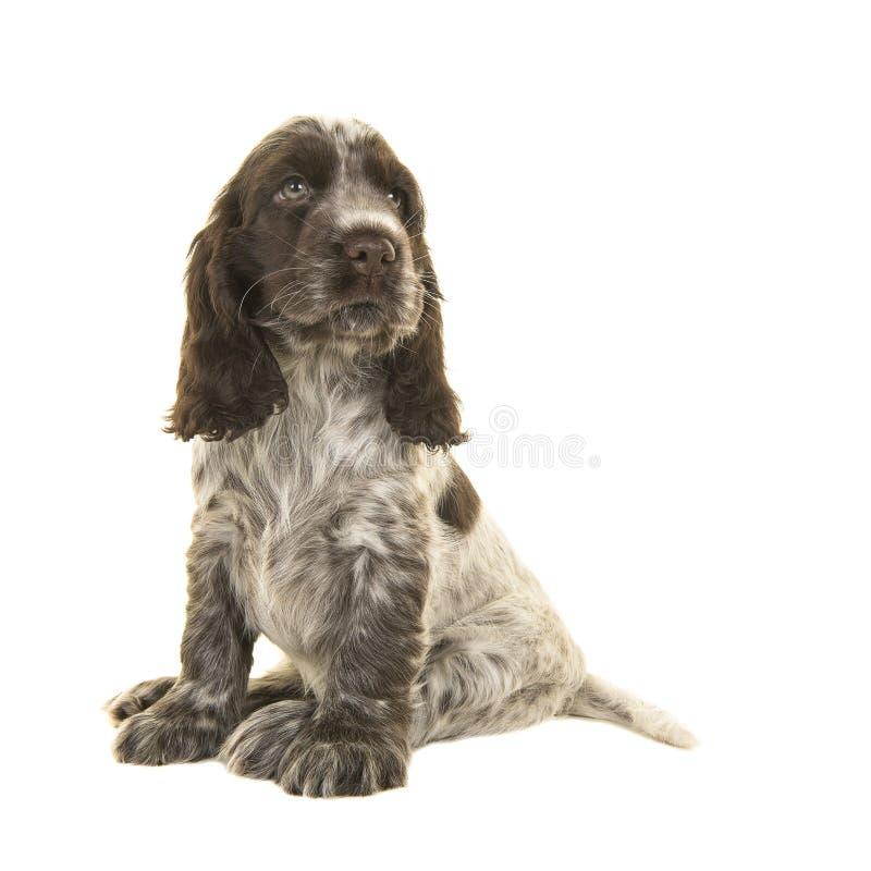 Gullig lookin för hund för sammanträdechoklad- och vitcockerspanielvalp royaltyfria bilder