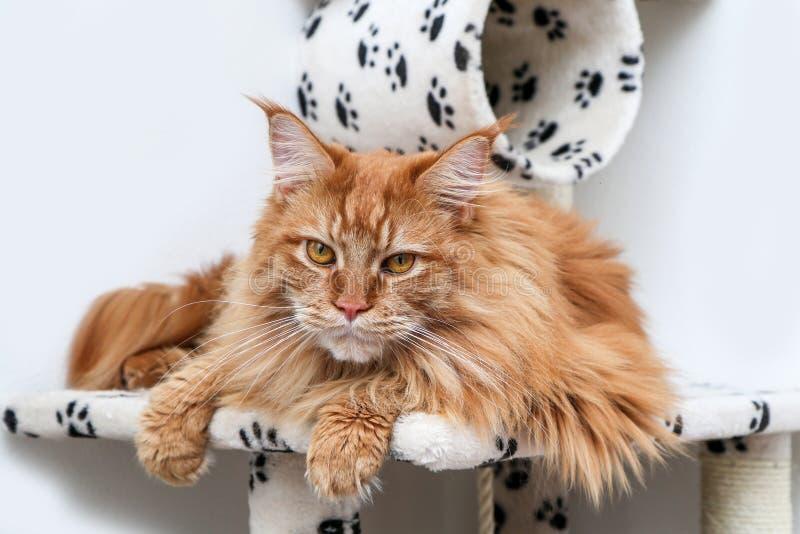 Gullig Maine Coon katt på ett lekhus arkivbilder