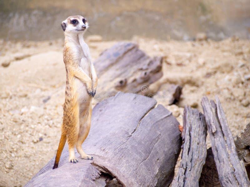 Gullig meerkat det lilla djur dess standind som larmar att hålla ögonen på på en liten timmer som pålagd brun sand eller jordjord arkivfoton