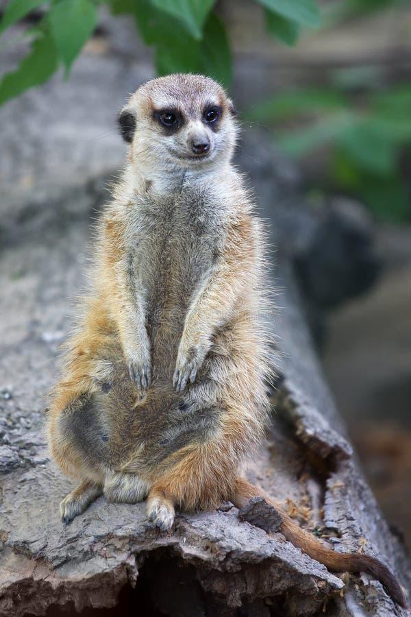 Gullig meerkat på vaktarbetsuppgift royaltyfria bilder
