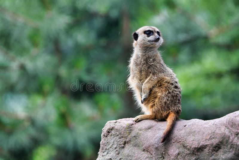 Gullig meerkat söker efter faror fotografering för bildbyråer