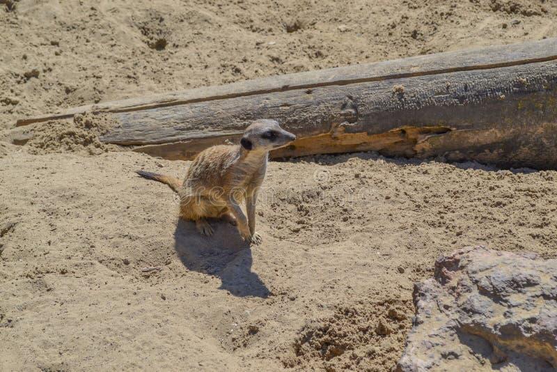 Gullig meerkatmungor i sanden royaltyfri foto