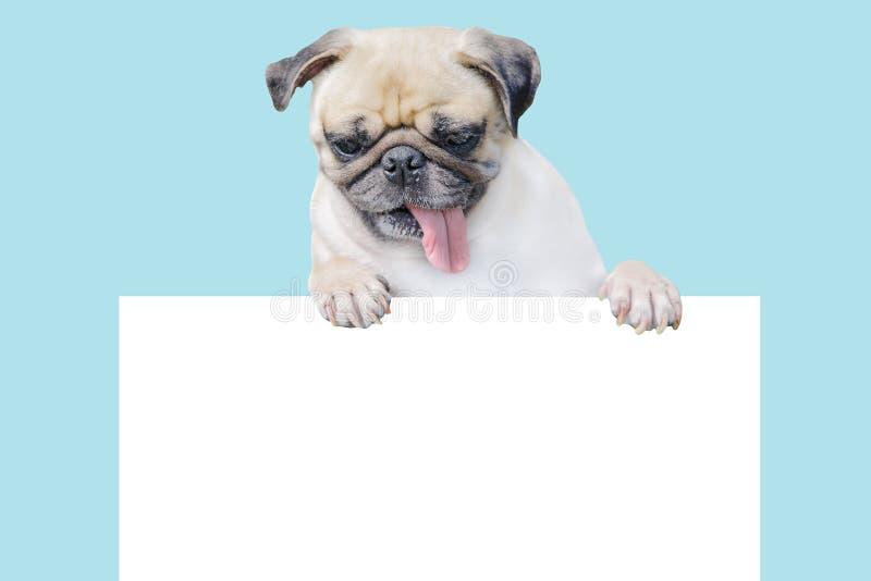Gullig mops för valphund ovanför banerblick ner med kopieringsscape för etikett på blå bakgrund, modellmall för presentkort royaltyfria bilder