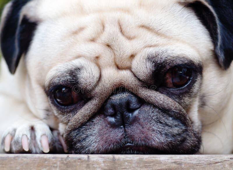 Gullig mopshund royaltyfria bilder