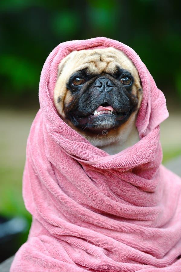 Gullig mopshund på hundbrunnsorten royaltyfria bilder