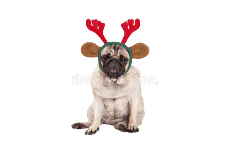 Gullig mopsvalphund med renhorn på kronhjortdiademen för jul och att sitta ner som ser vresig arkivbild