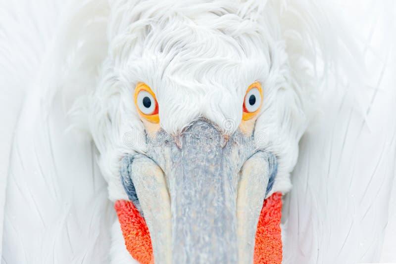 Gullig närbildfågelstående Syna den Dalmatian pelikan för detaljen, Pelecanuscrispus, i sjön Kerkini, Grekland Palican med den öp royaltyfria bilder