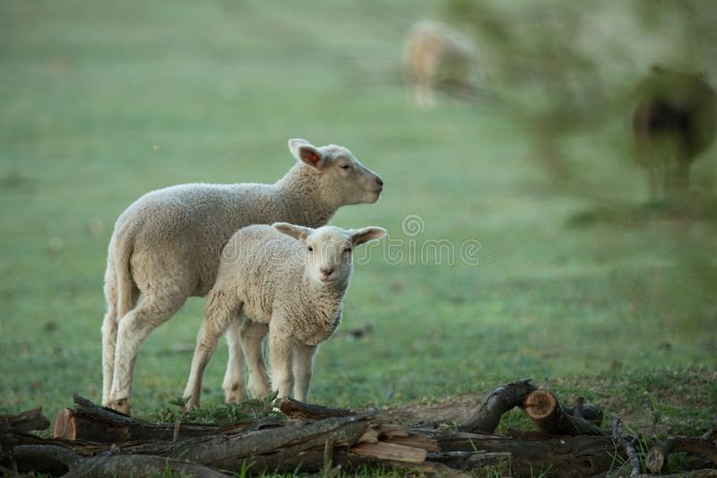 gullig ny green lambs little ?ng royaltyfri bild