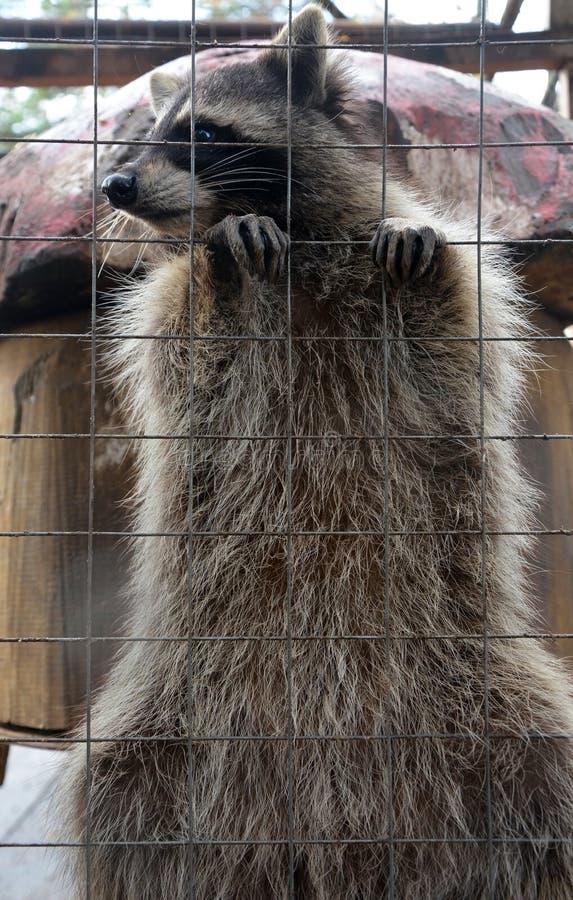 Gullig och rolig tvättbjörn royaltyfria foton