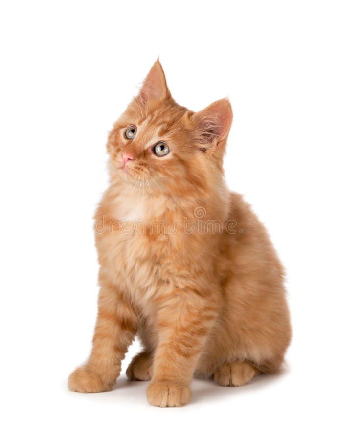 Gullig orange kattunge som ser upp på en vit bakgrund. royaltyfria foton