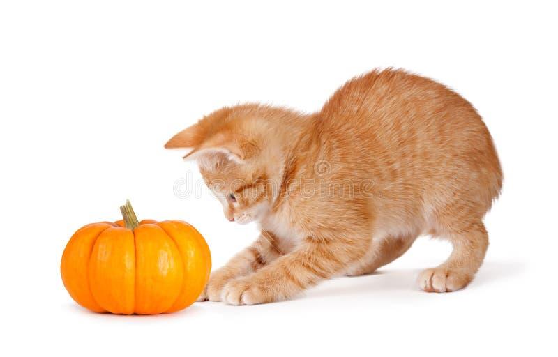 Gullig orange kattunge som spelar med en mini- pumpa på royaltyfri foto