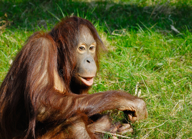 gullig orangutan royaltyfria foton
