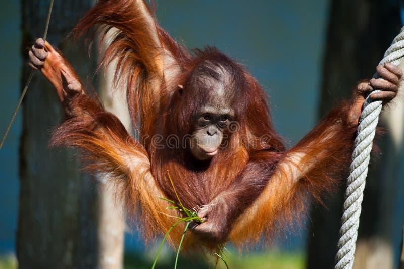 gullig orangutan arkivbild