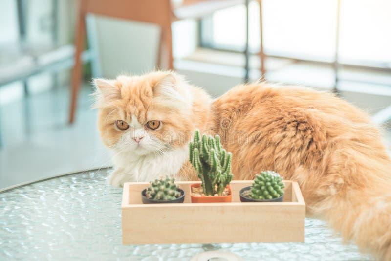 Gullig persia katt på tabellen royaltyfri foto