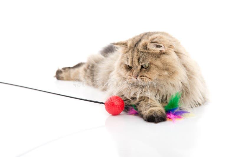Gullig persisk katt som spelar leksaken royaltyfria foton
