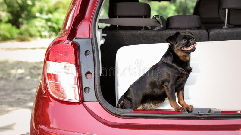 Gullig Petit Brabancon hund som sitter nära resväskan royaltyfri foto