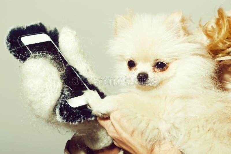 Gullig pomeranian hund genom att använda smartphonen i kvinnliga händer royaltyfri foto