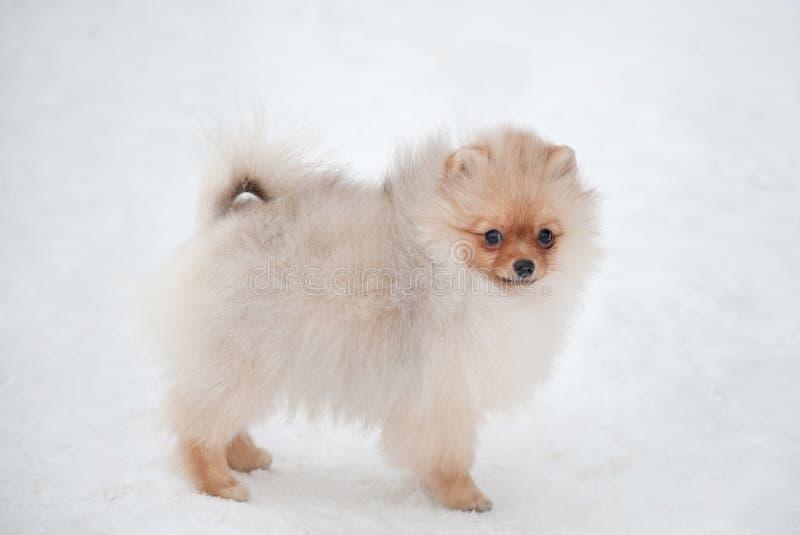 Gullig Pomeranian spizvalp på snö royaltyfria foton