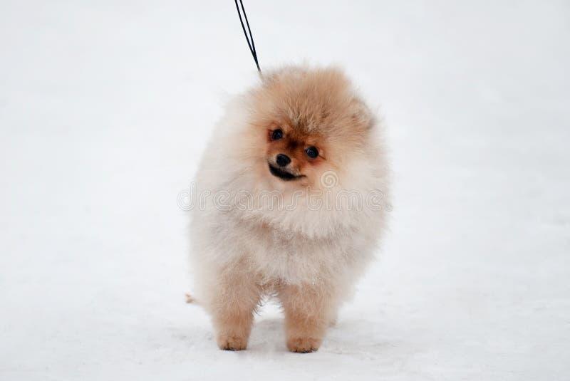 Gullig Pomeranian spizvalp på snö royaltyfri foto