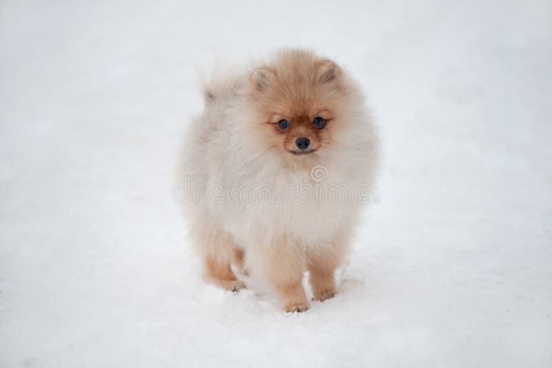 Gullig Pomeranian spizvalp på snö royaltyfri bild