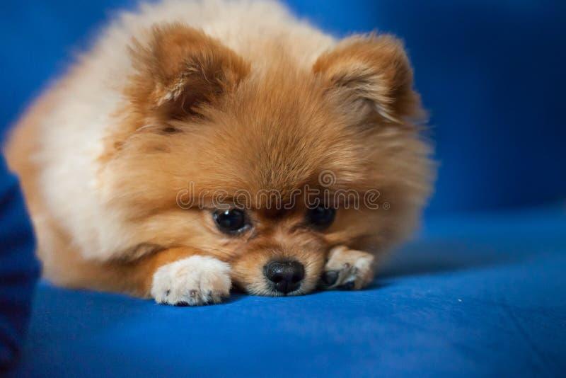 Gullig Pomeranian valp på en blå bakgrund royaltyfri fotografi