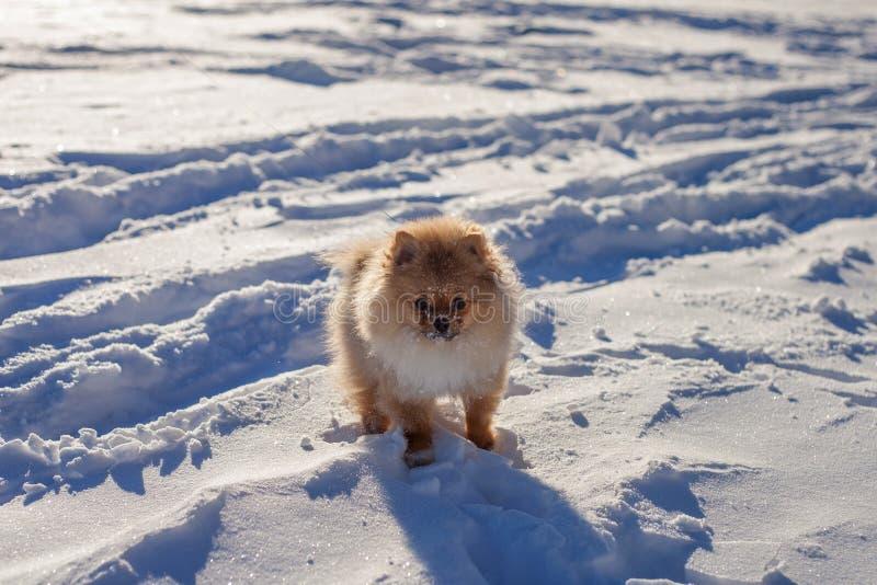 Gullig Pomeranian valp på en gå i snön på en vinterdag royaltyfri bild