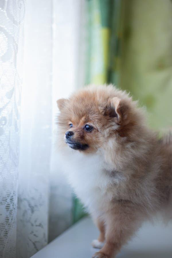 Gullig Pomeranian valp som ut ser fönstret fotografering för bildbyråer