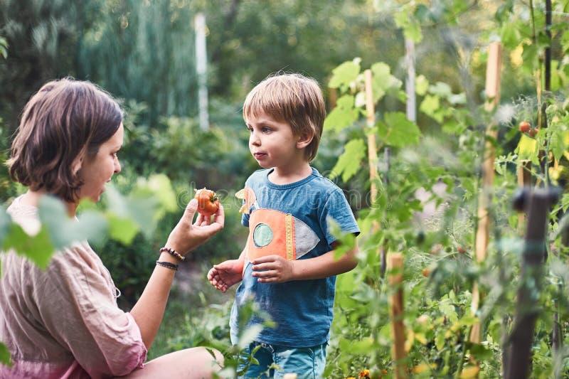 Gullig pys med hans moder som samlar den mogna svarta tomaten i grönsakträdgården Sommar vilar lycklig barndom arkivfoto