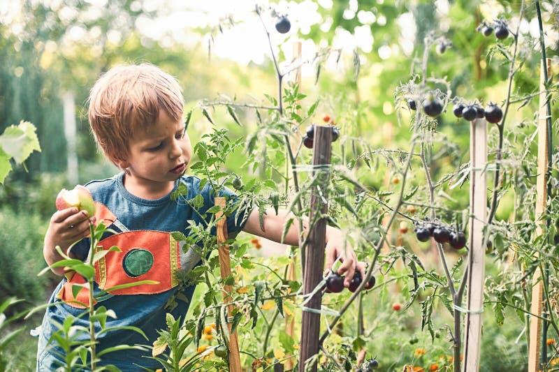 Gullig pys som samlar den mogna svarta tomaten i grönsakträdgården Sommar vilar lycklig barndom arkivbilder