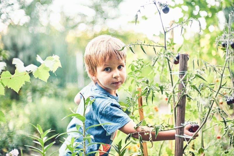 Gullig pys som samlar den mogna svarta tomaten i grönsakträdgården Sommar vilar lycklig barndom royaltyfria bilder