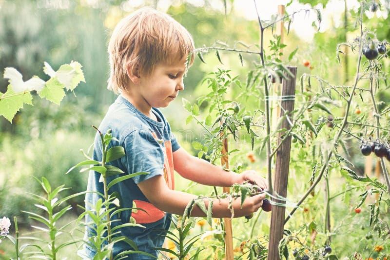 Gullig pys som samlar den mogna svarta tomaten i grönsakträdgården Sommar vilar lycklig barndom royaltyfri foto