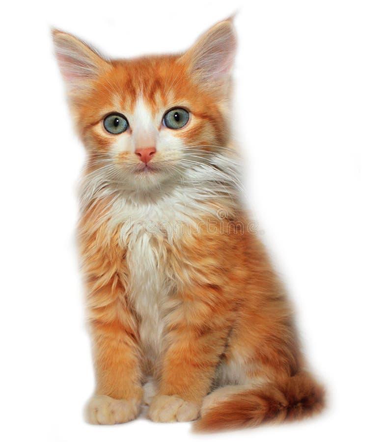 Gullig röd kattunge royaltyfria foton