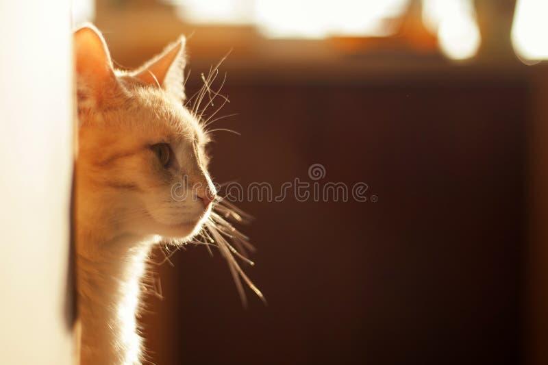 Gullig röd kattunge som ut kikar hörnet på ett härligt ljus arkivbild