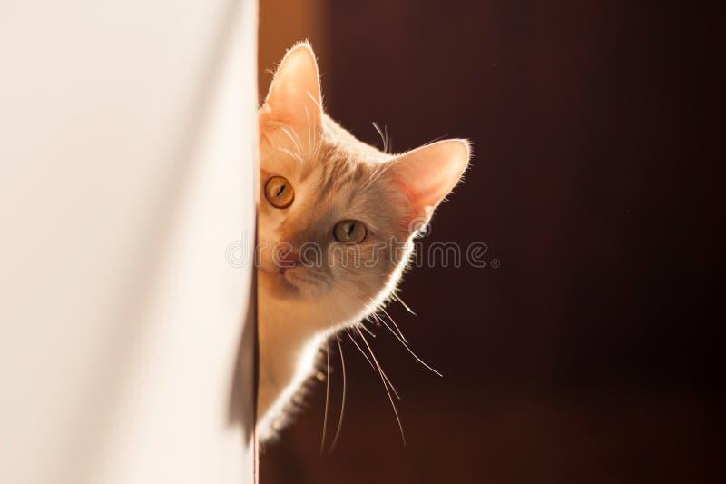 Gullig röd kattunge som ut kikar hörnet på ett härligt ljus royaltyfria foton