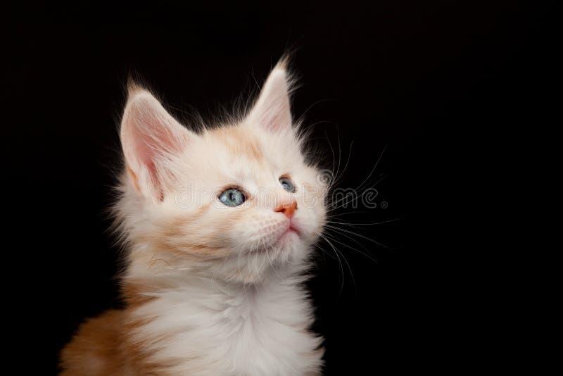 Gullig röd Maine Coon kattunge som ser upp arkivfoto