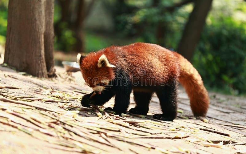 Gullig röd panda arkivfoton