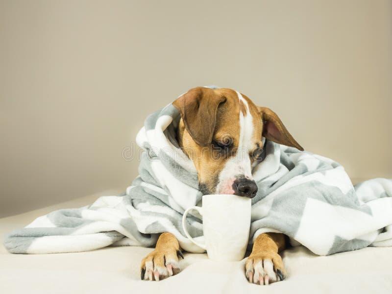 Gullig rolig hund som poserar i säng med plädet och koppen fotografering för bildbyråer