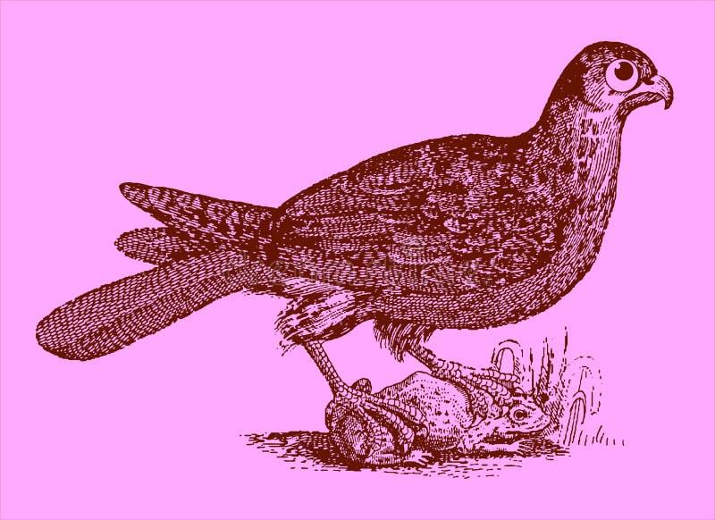 Gullig rovdjur: eurasianhobbysammanträde på en fångad padda eller groda royaltyfri illustrationer