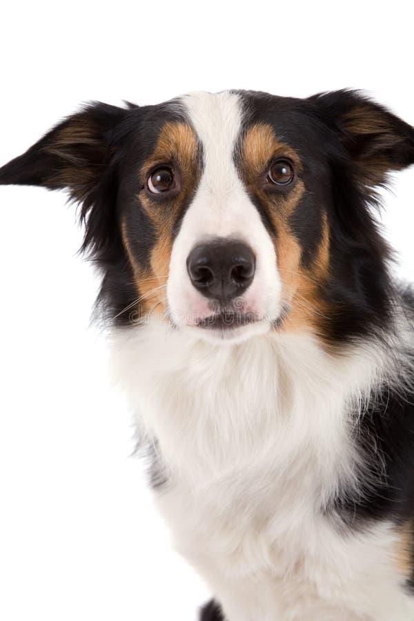 gullig sheepdog royaltyfri fotografi