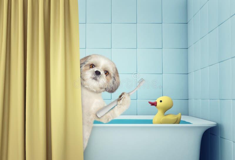 Gullig shitzu i badet arkivfoton
