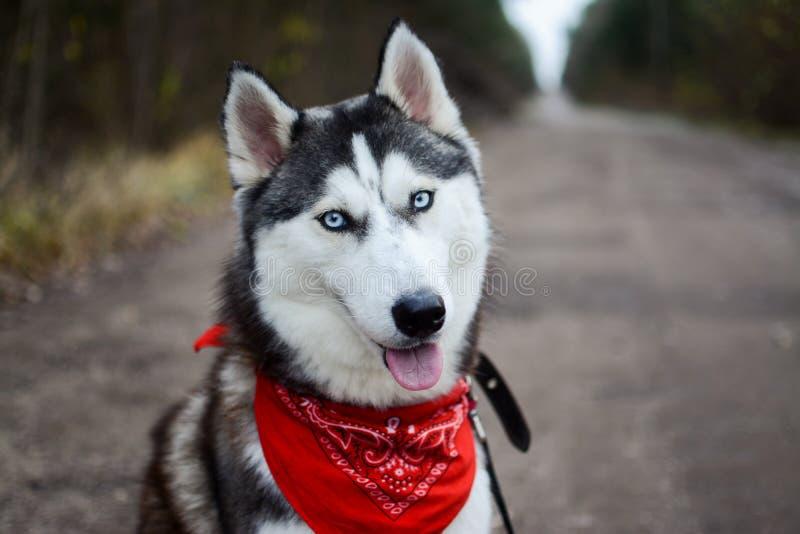 Gullig Siberian skrovlig bärande röd bandana som sitter på vägen arkivfoton