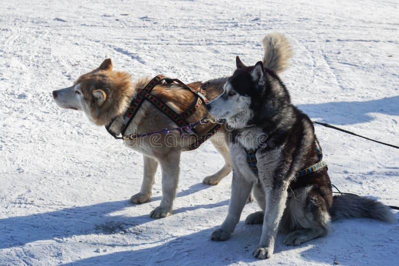 Gullig Siberian skrovlig hundkapplöpning för pulka i vinter arkivfoton