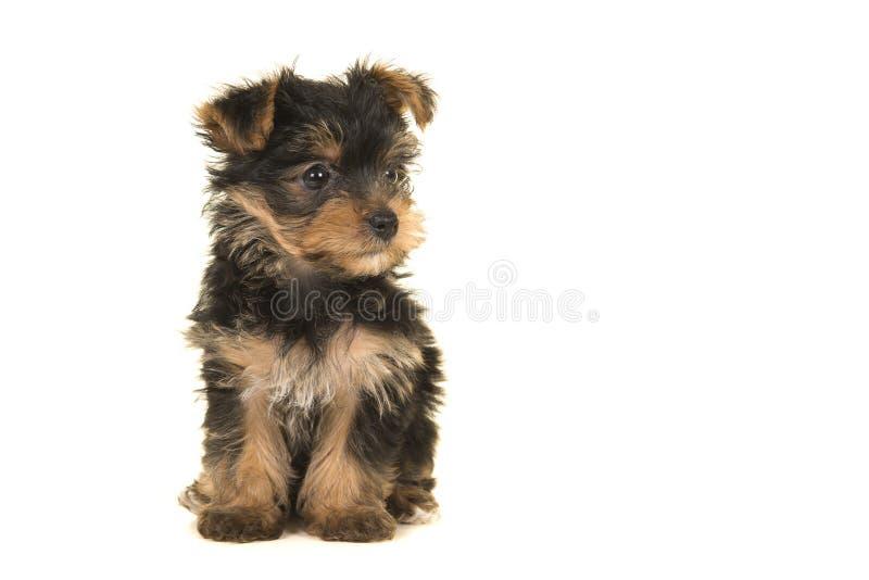Gullig sittande yorkshire terrier, yorkievalp som ser till righen arkivfoto