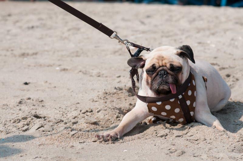 Gullig skräck för ögat för hundmopsblinkningen och det rädda vattenhavet sätter på land, när folket försöker att dra mops för att arkivfoton